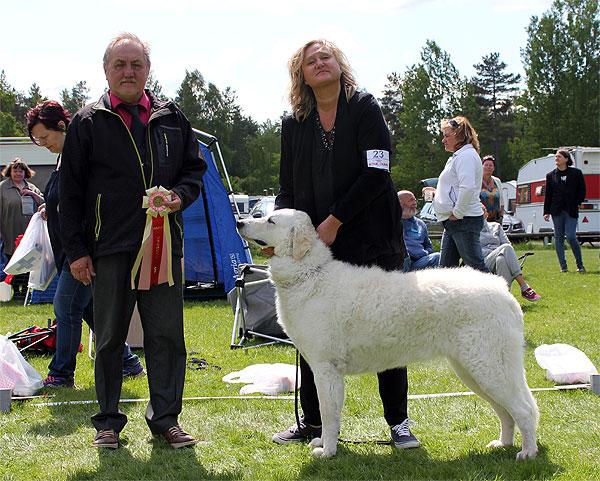 Csigora Magic Melody att the Swedish Kuvasz Club's breed special in 2014. Photo:  SvKK .