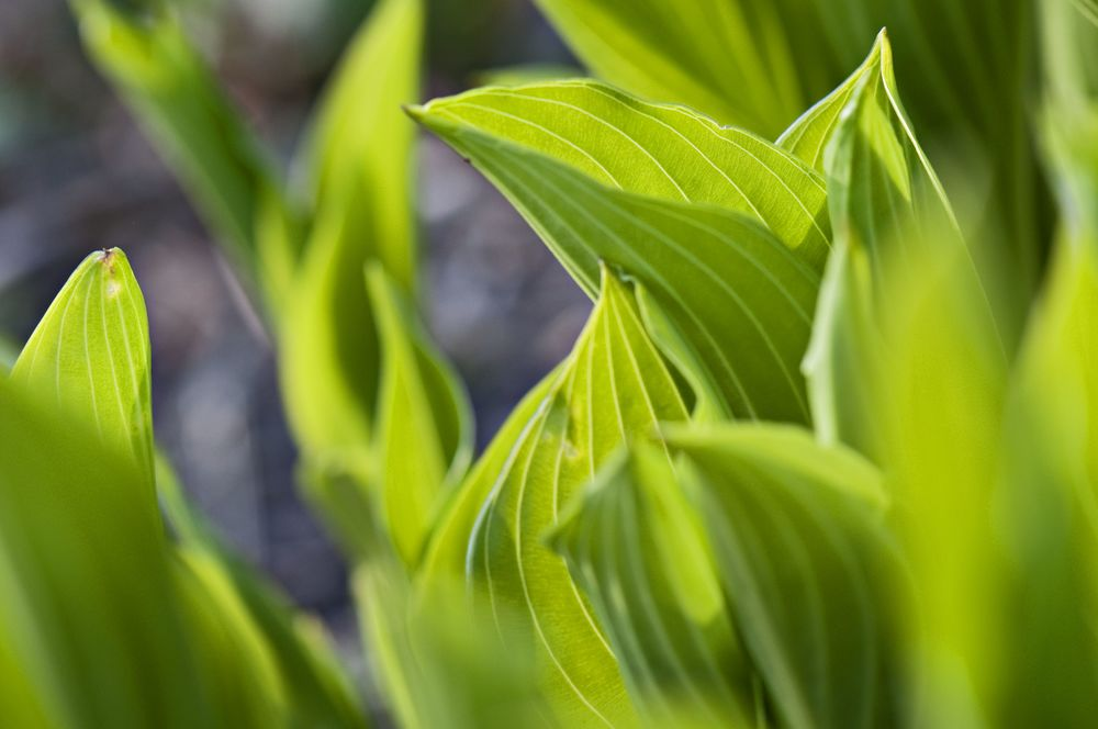 Fat hosta leaves unfurling like flags