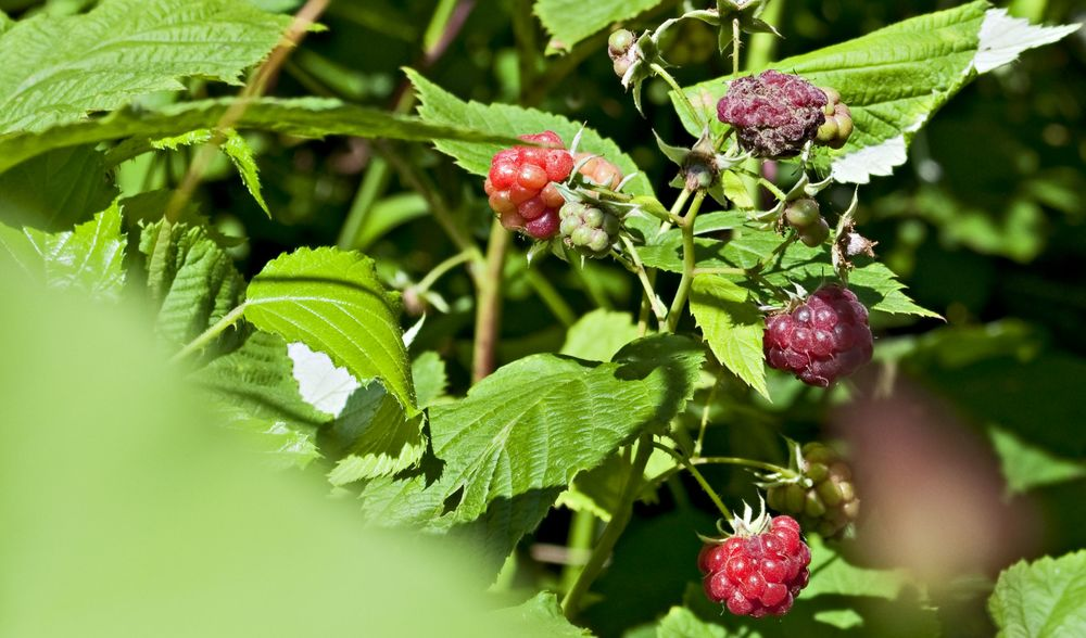 Raspberry canes - a delicious surprise among the brambles