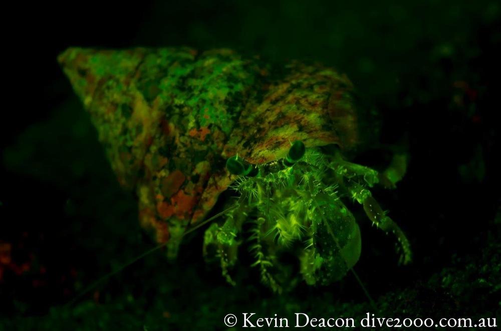 Fluorescing Hermit Crab_DSC_5027.jpg
