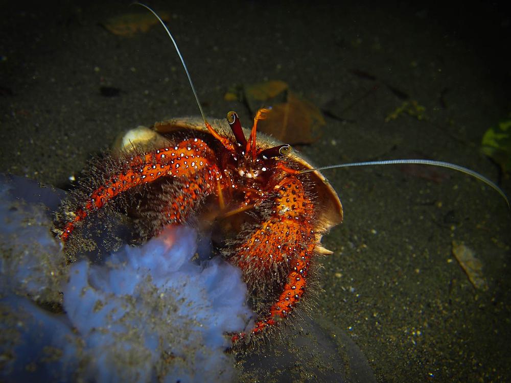 Hermit Crab LRiscinti.jpg