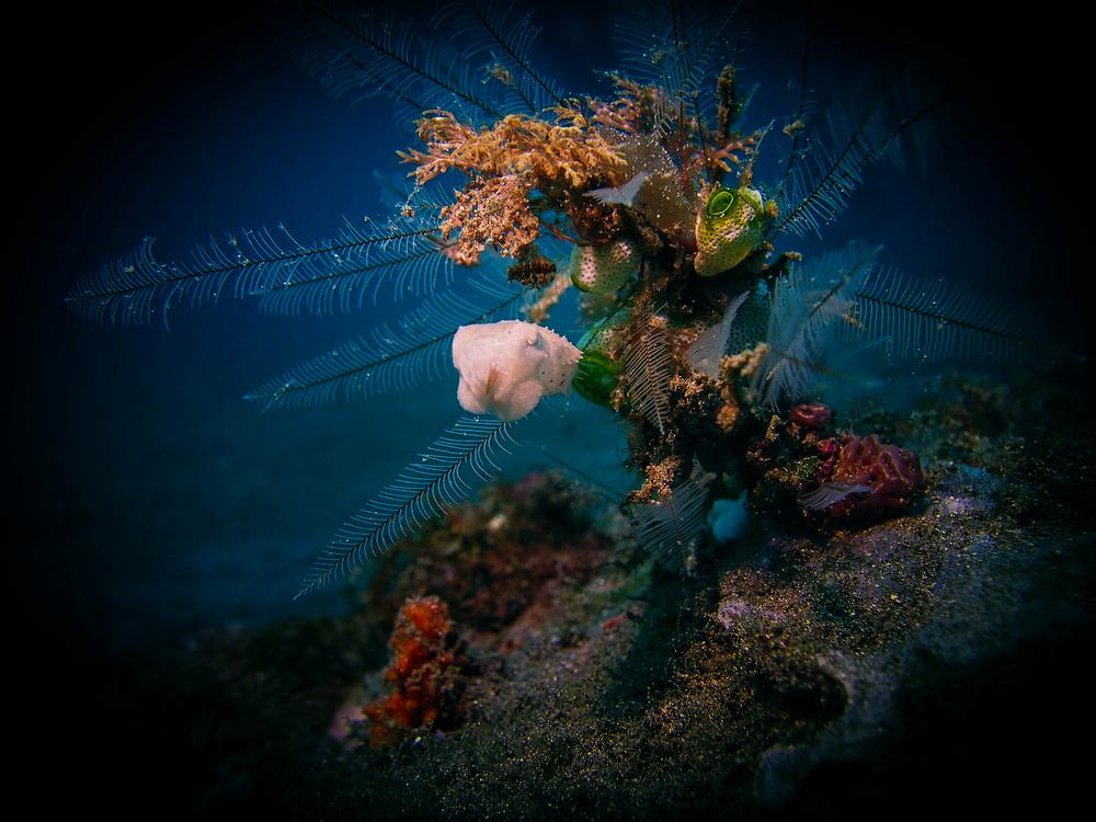 Pygmy cuttlefish2 LRiscinti.jpg