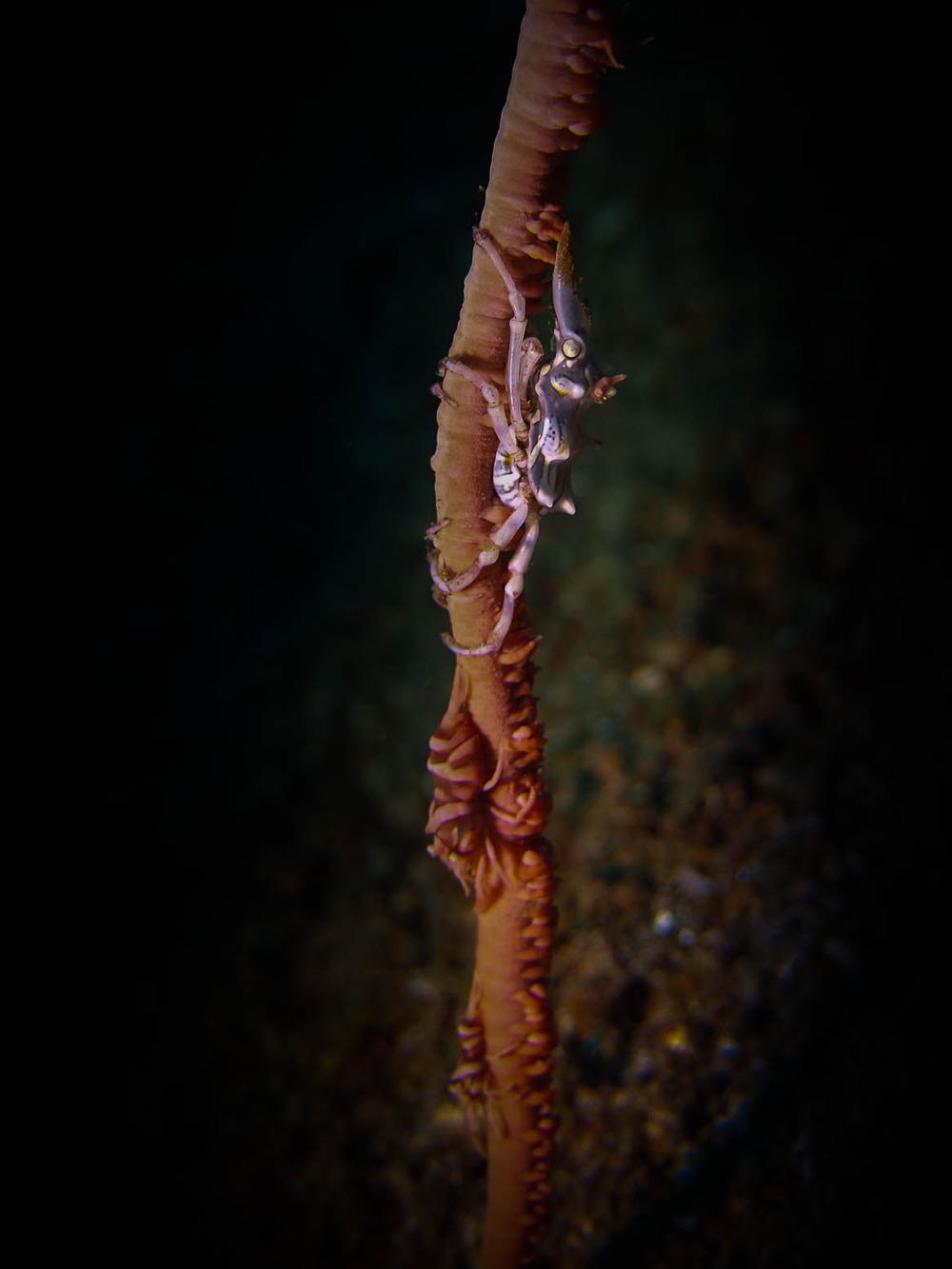 Xeno Crab LRiscinti.jpg