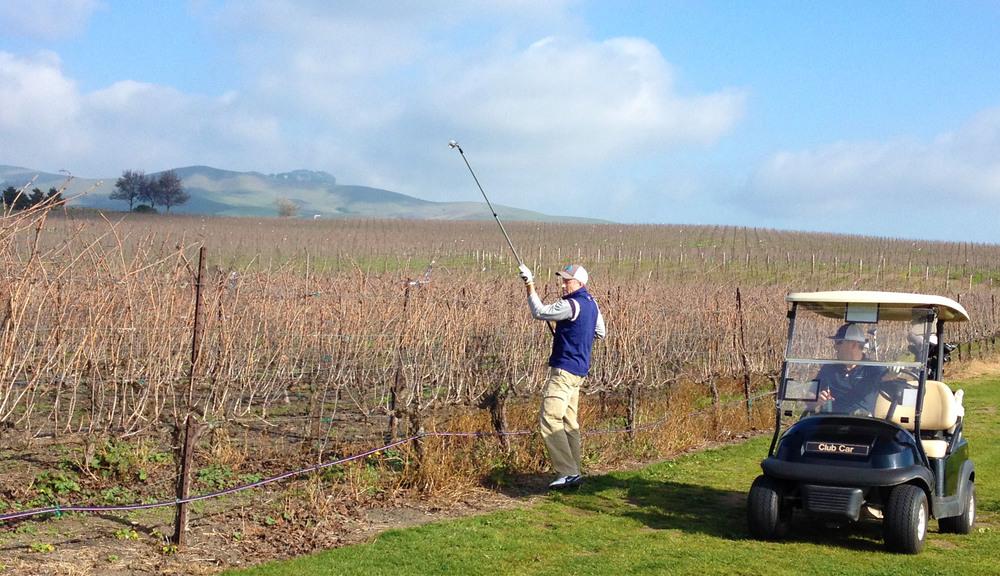 Grapeless vines make for easier ball picking © Robert Kaufman