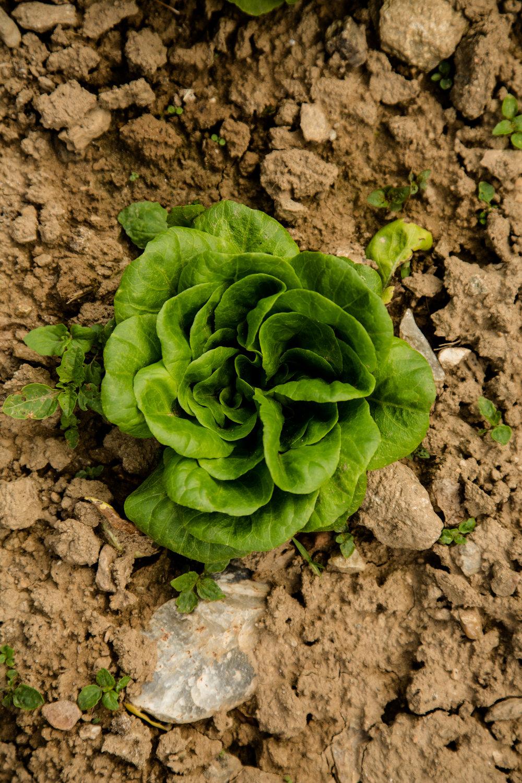 West Ashe - Paper Crane Farm - Lettuce
