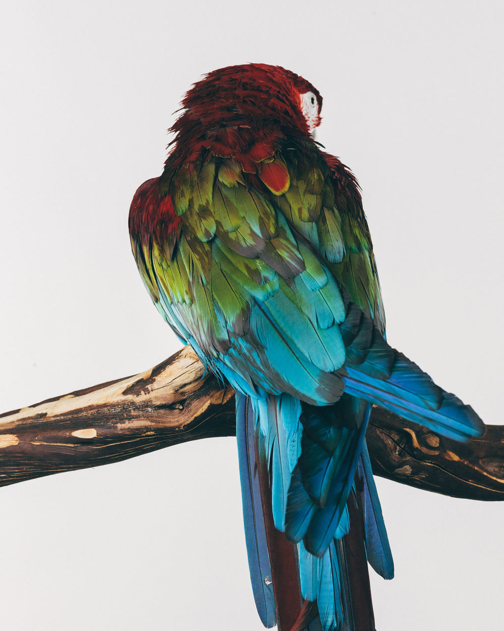 ELIZABETH   Female. Green-winged Macaw                                                    ( Ara chloropterus)   Age: 10   Arrived to the sancturay in 2011 when her owner did not want to pay for vet care. They were buying a new house and said that Elizabeth needed medical treatment and they would rather have her euthanized than pay for her care.  The sanctuary took her in and changed her diet as well as gave her physical therapy for a previously broken leg.  She thrived!  She is definitely a favorite with the volunteers since she goes to everyone for loving.