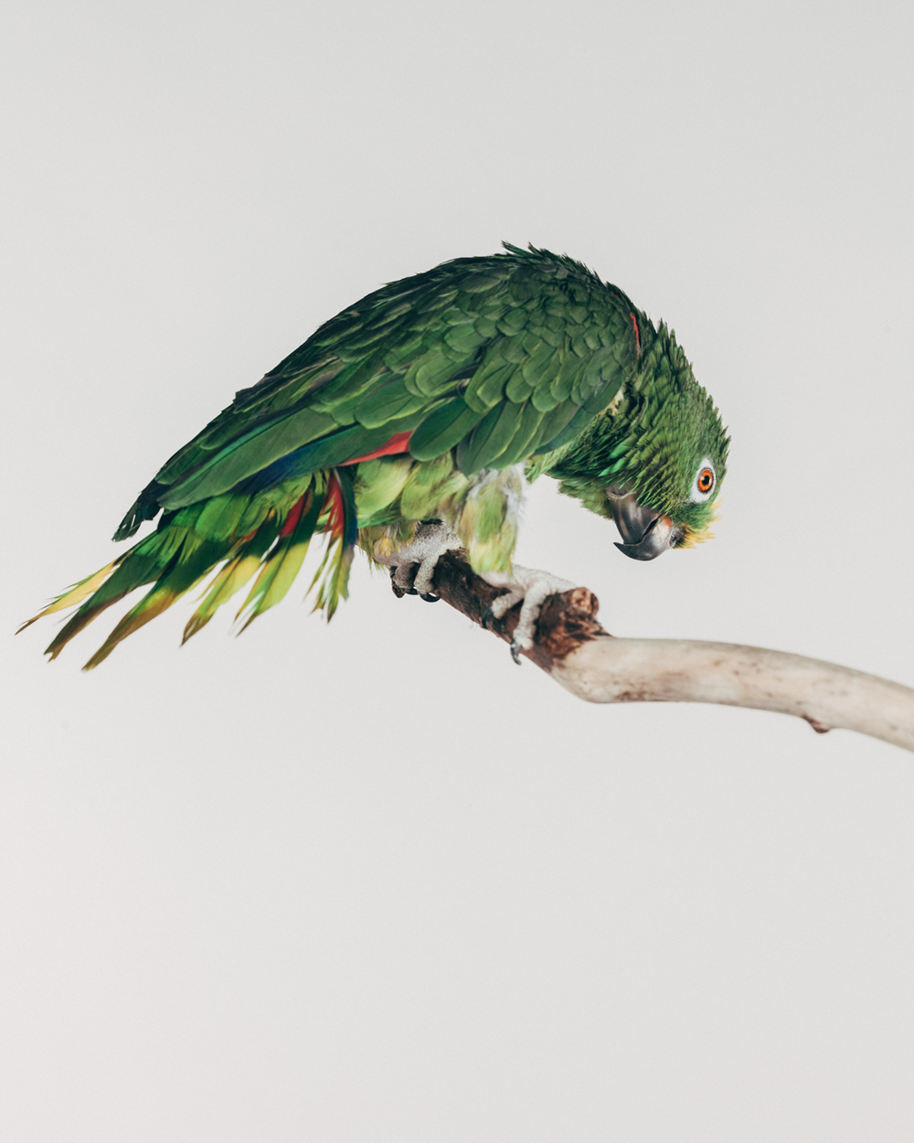 EINSTEIN   Male. Yellow crown amazon                                               ( Amazona ochrocephala)   Age: 40  Funny little fellow. Love to hang upside down. Arrived at the sanctuary after his owner died. He is doing great so far at the new home.