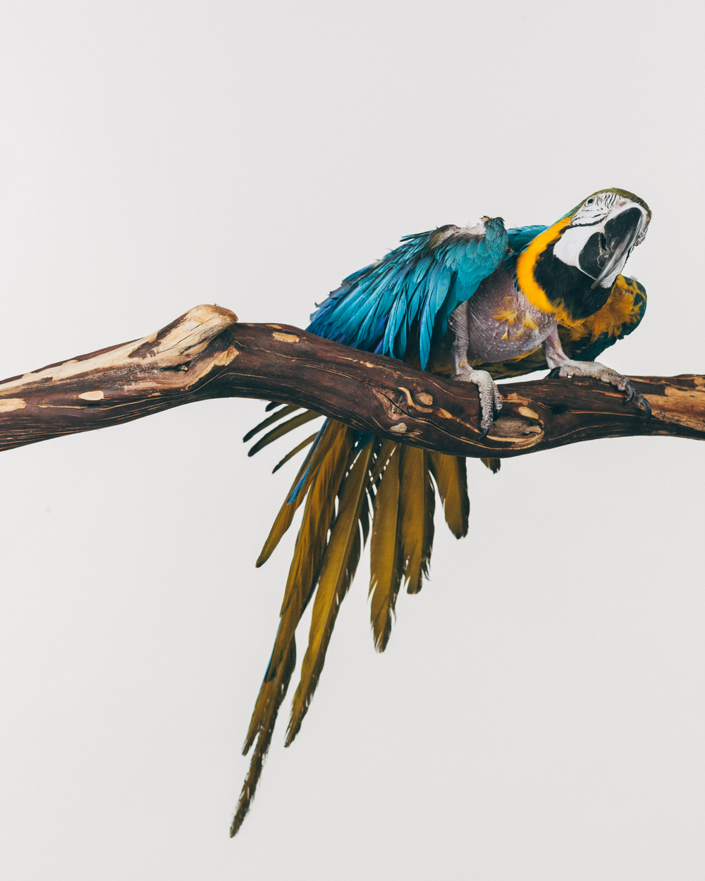 BJ    Female. Blue and gold macaw                                                       (Ara ararauna)  Age: Unkown  Rescued 3 years ago by a sanctuary in Florida. Her owners were selling their house and going to live in an RV and travel.    The owner said that BJ had previously been owned by a man in a neighboring city and he had three Macaws and two of them beat up on BJ all the time and she plucked herself naked.  They also broke one of her wings and the owner never sought veterinarian care for it.  The man would beat on her cage with a broom to get the macaws to be quiet.  The sanctuary placed her with a friend and when that friend died recently a sanctuary in Washington was called to take BJ in.
