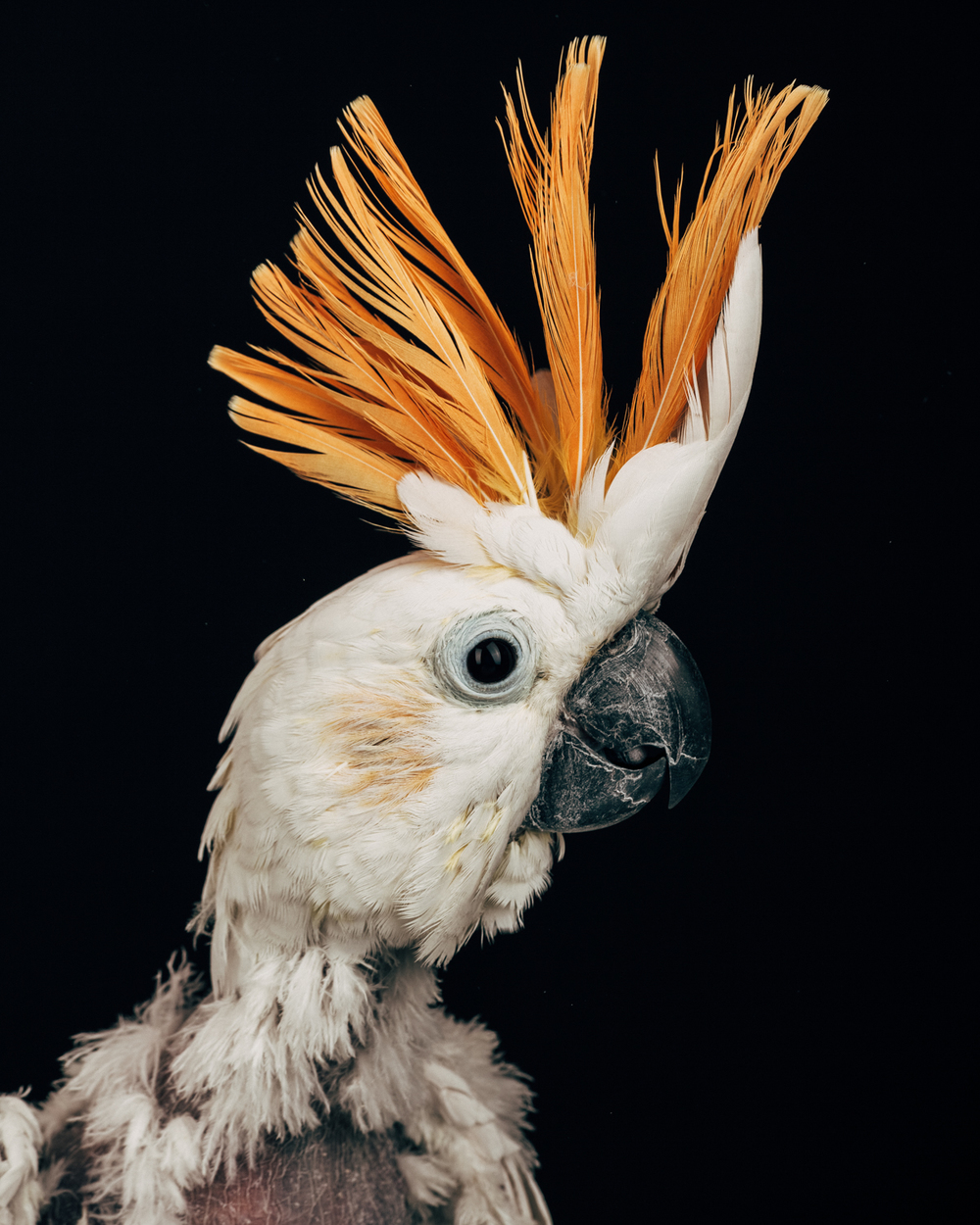 SCRUFFY JOE   Male. Citron cockatoo.                             (Cacatua sulphurea citrinocristata)   Age: early 20's.  Owned and loved by a man who was a manic depressant.  The owner finally decided the bird needed more than he could manage and gave it to the sanctuary.