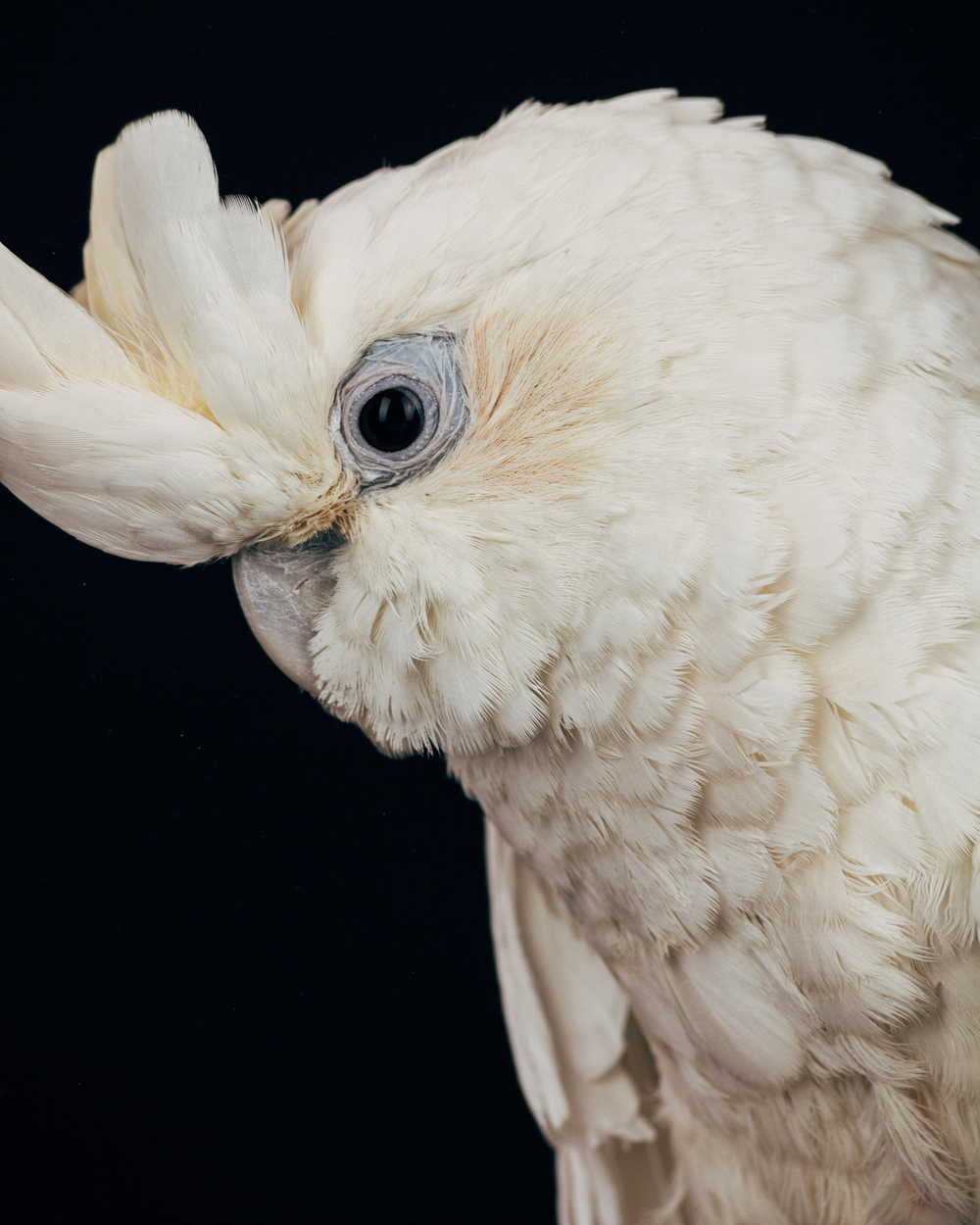 MALCOLM    Male. Philippine Red Vented cockatoo                                 (cacatua haematuropygia)  Age: 25    Owner passed away. Arrived at the sanctuary with several tumors which have turned out to be benign. One wing is frozen and the other was broken but healed without obvious medical intervention.