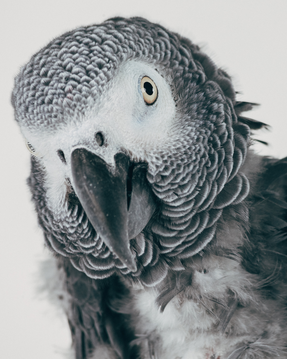 BUBBA    Male. African Gray (congo)                        ( Psittacus erithacus )  Age: 35  Arrived to the sanctuary in 2014 from California. He was in a flock environment but his flock was given away to someone else so Bubba started plucking himself more.  His owner, a veterinarian, sent Bubba to the sanctuary.