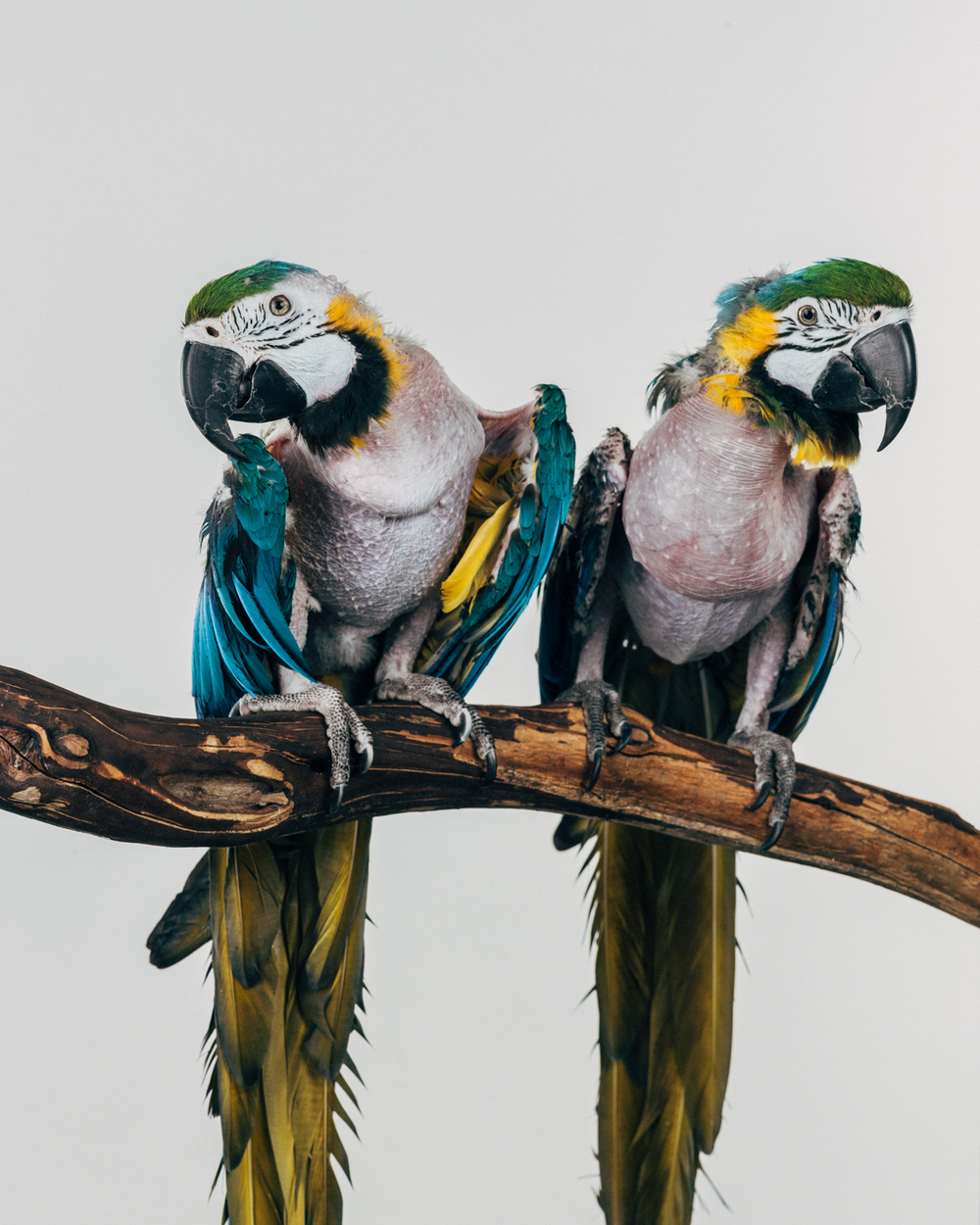 CHLOE & MERLOT   Females. Gold and blue macaws                                                (Ara ararauna)  Age: unkown  They both came from a sanctuary in Portland, Oregon. Both severely plucked with blown air sacs and cataracts. They go everywhere together.