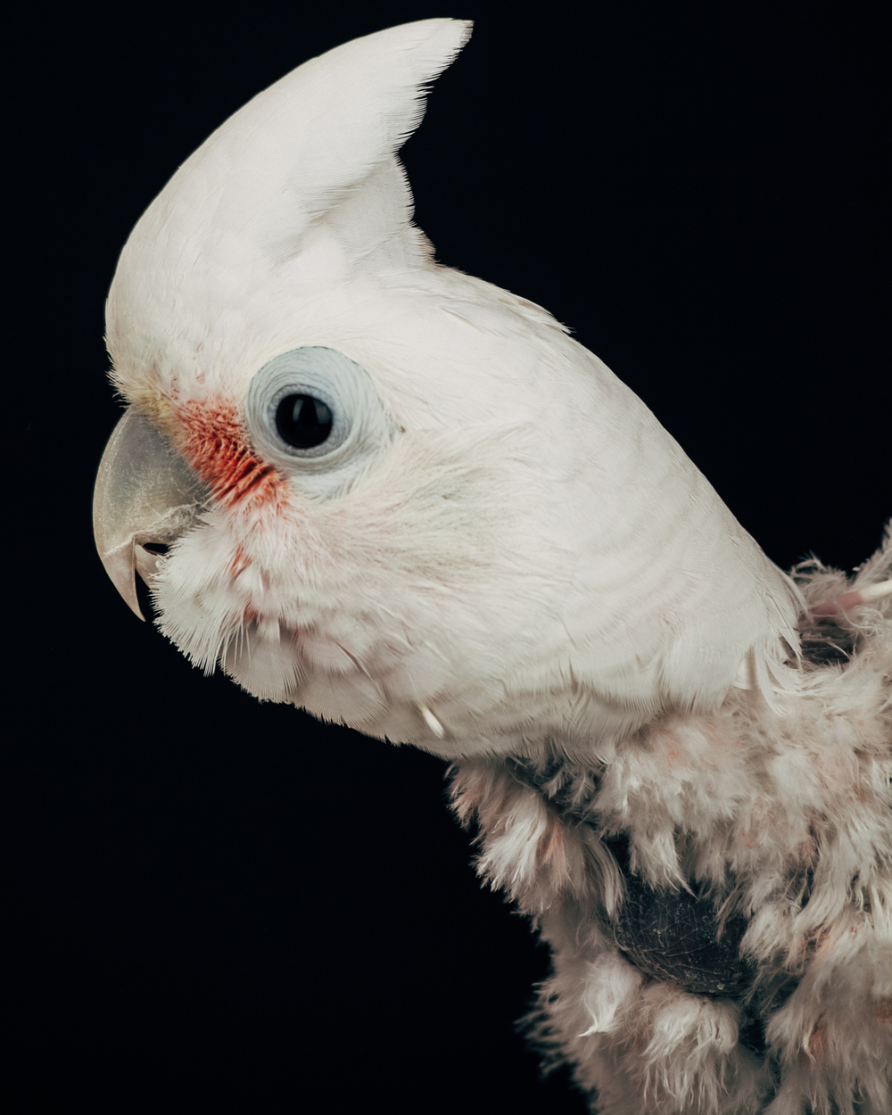 BABY    Female.  Goffin cockatoo                                                      ( Cacatua goffiniana )  Age: 22  Owners got a divorce and none of them wanted to keep her. So they gave her away to a sanctuary.  She likes to dance.
