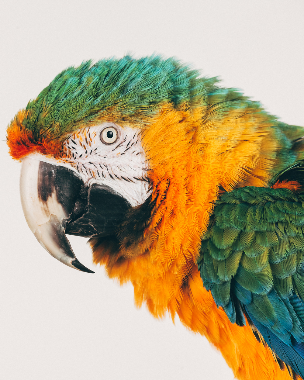SUNRISE    Female.  Catalina macaw                                                           ( hybrid )  Age: unknown  Sunrise is a retired breeder that was not able to have successful hatchlings.  All of her babies had major handicaps and would die soon after hatching or within the first year.  She was being sent to two different sanctuaries. We  are unsure of her age as she has not documentation.  She does have splayed legs but is able to get around just fine!