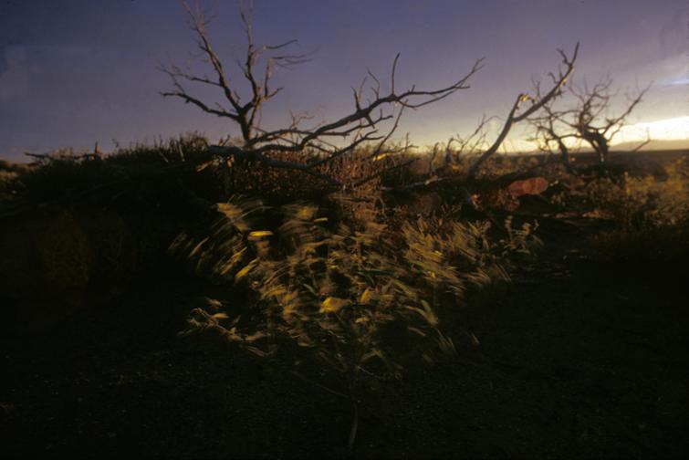 western blowing bush.jpg