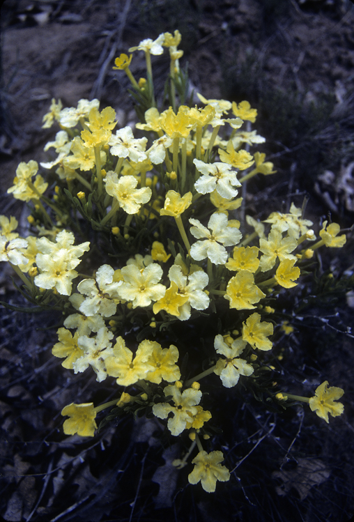 western yellow flowers.jpg