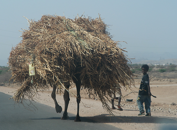 eritrea camel with load.jpg