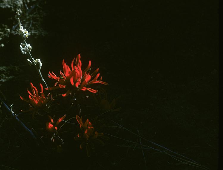 western red penstemon.jpg
