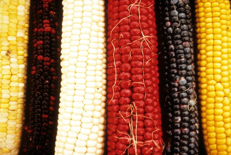 hopi corn.jpg