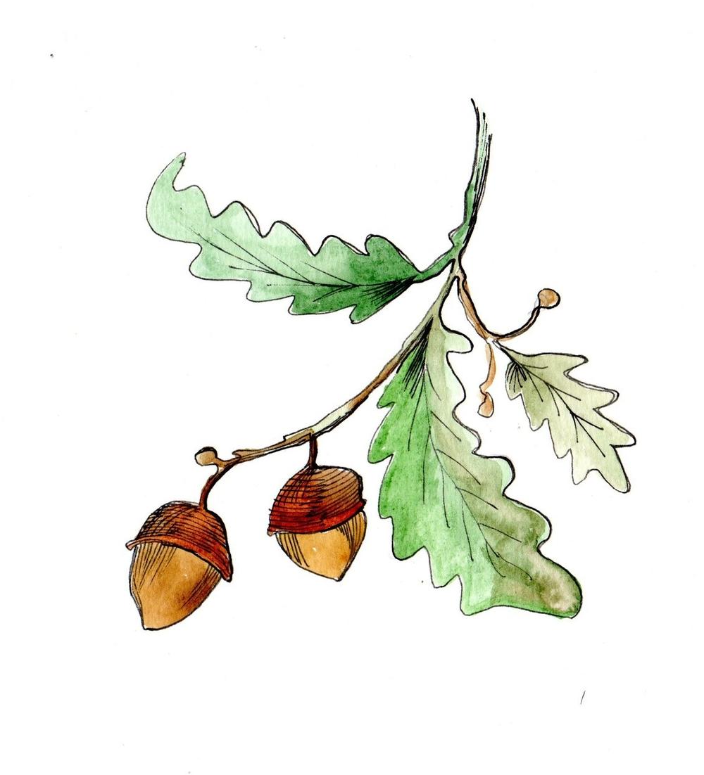 acorns009.jpg