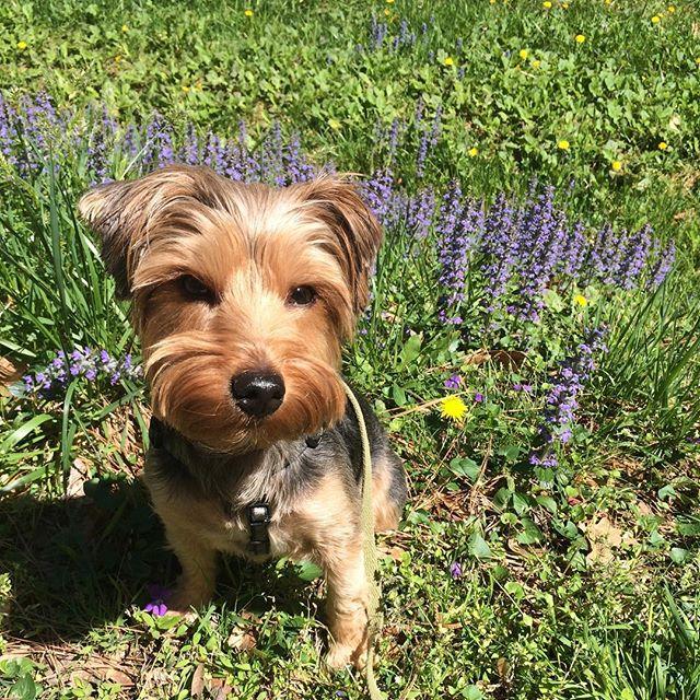 Spring 💐#springtime #colorful #bright #happy #sunnydays #flowers #green #doglife #yorkiesofinstagram
