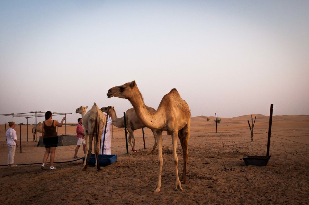 camels in Abu Dhabi