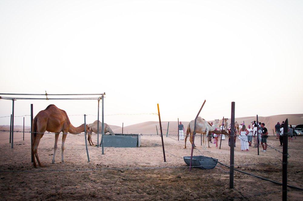 Camels in Abu DHabi desert