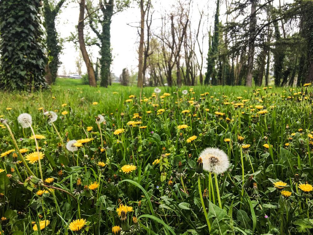 daffodils-in-park.jpg