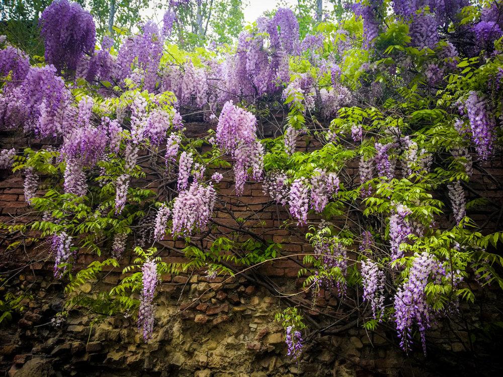 violets-curtain.jpg