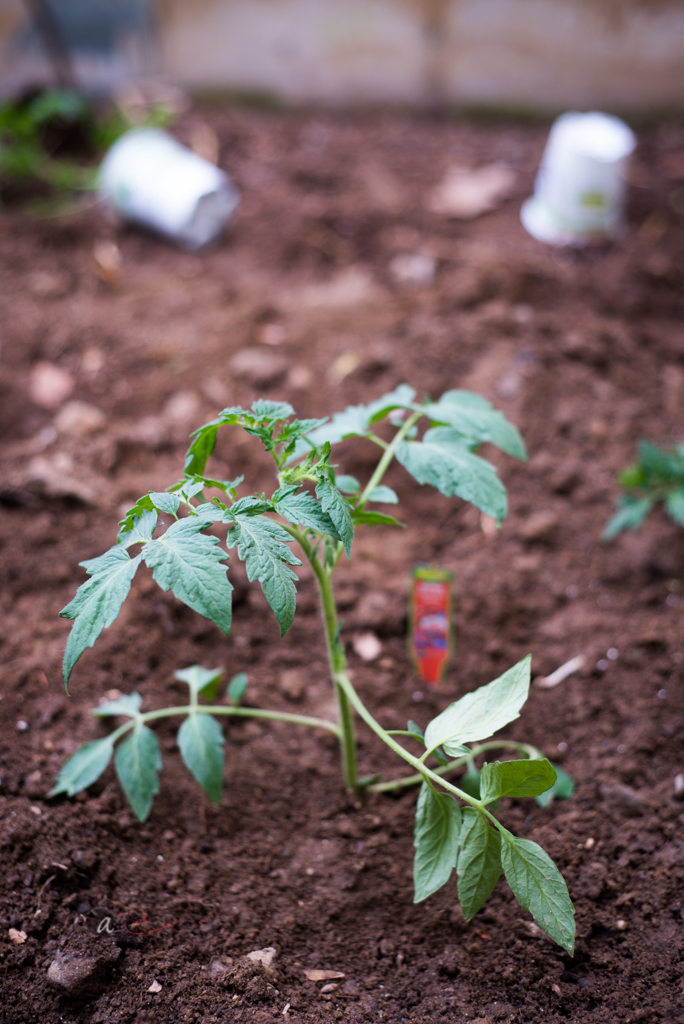 Early Tomato Planting