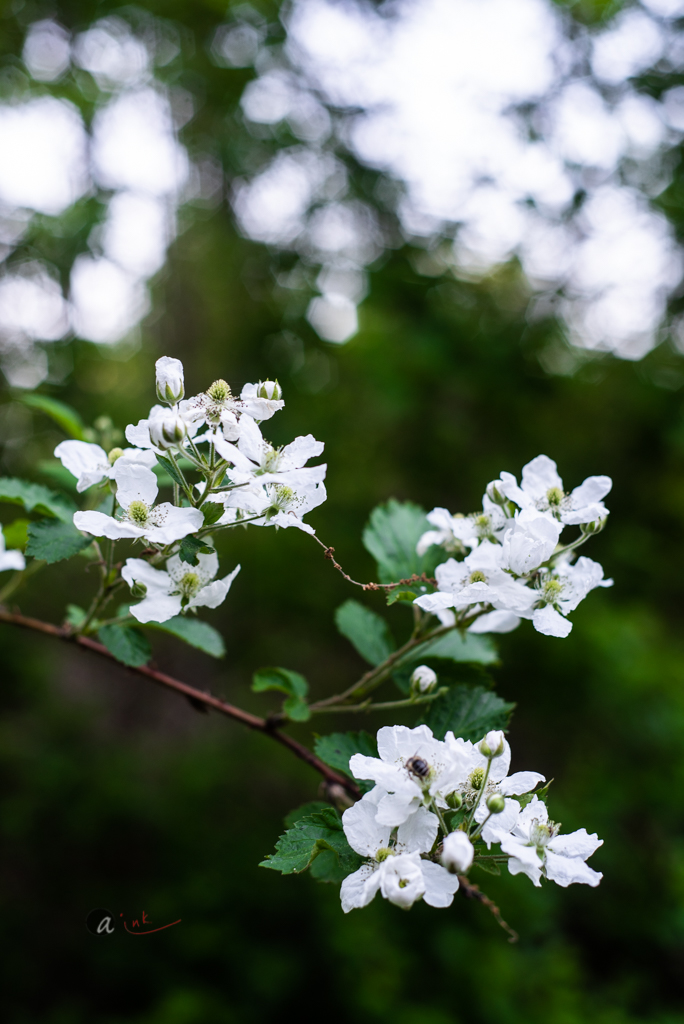 wild-blackberry-bush-flowering.jpg
