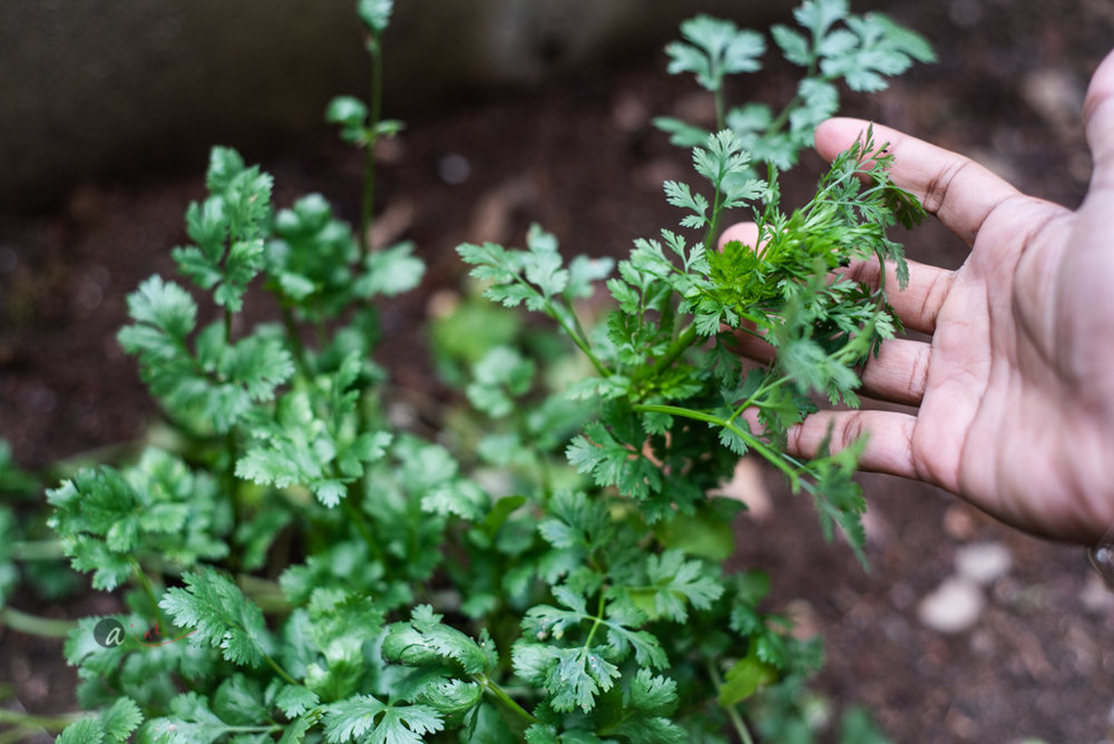 Cilantro - This herb, despite, its popularity in tropical cuisines, is a cool weather crop that does well in Spring and early Summer. This is also the best time to keep it growing. As soon as the weather touches and stays 80F, it start bolting (you can mine has). A term used when the stems shoots up and starts flowering, signaling the end of the crop season. You can't prevent it but pruning the tops regularly will allow for shoots to branch from the main stem, giving you a crop for longer. You can also attempt to shade it a bit, when the temperature inevitably starts creeping up. I don't know the success rate of this as I have not had the opportunity to try.