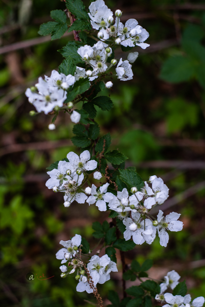 Flowering Wild Blackberry Bush    -