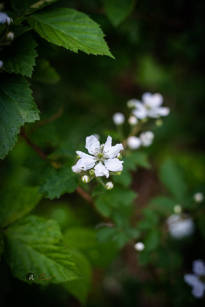 wild-blackberry-flowers6.jpg