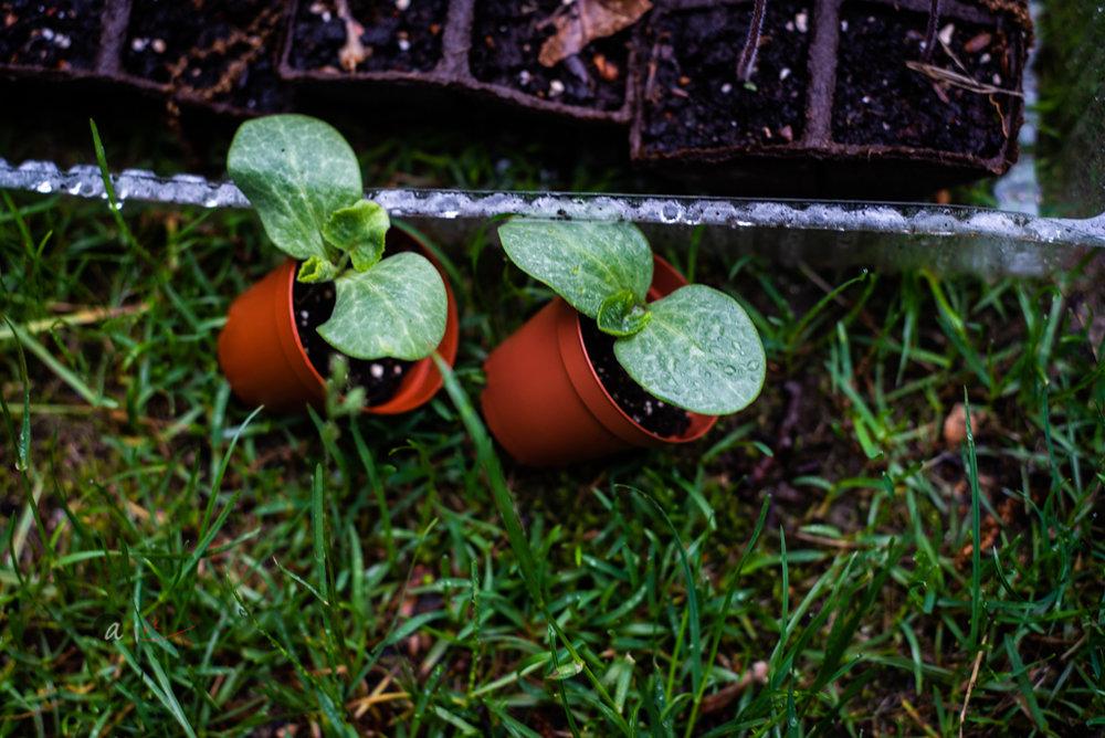 butternut-squashseedlings.jpg