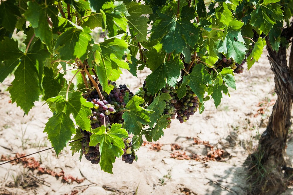 capitoni-wines-vineyard.jpg