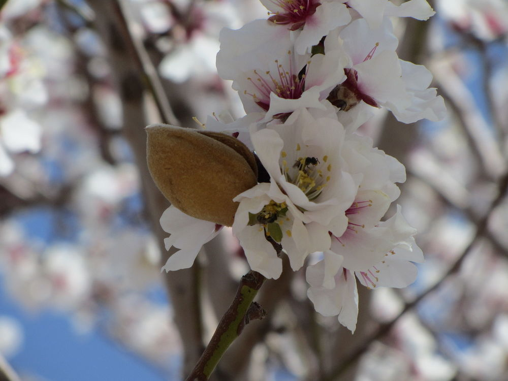 Almond fruit with blossoms