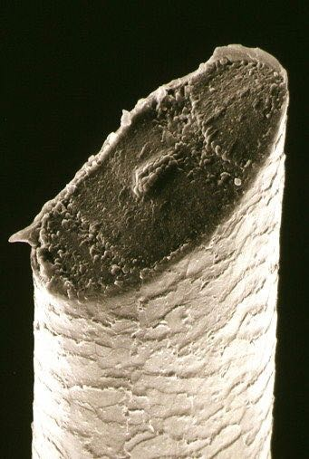 SEM image of a freshly shaved hair follicle. Looks like a dagger!