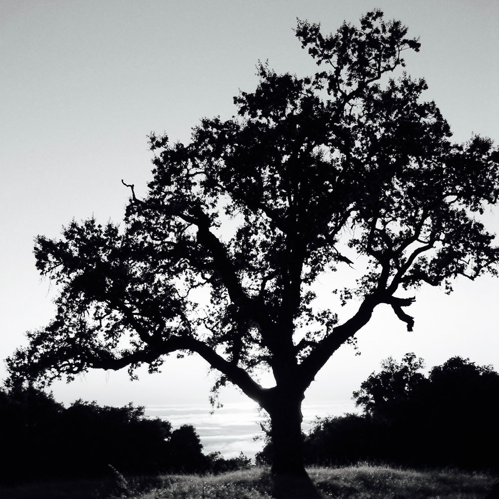 A majestic oak tree at one of my favorite (secret) spots along the Big Sur Coast.