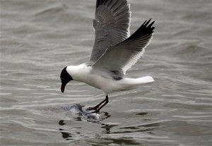A seagull lands on a dead fish floating in the Gulf of Mexico. AP photo Gerald Herbert