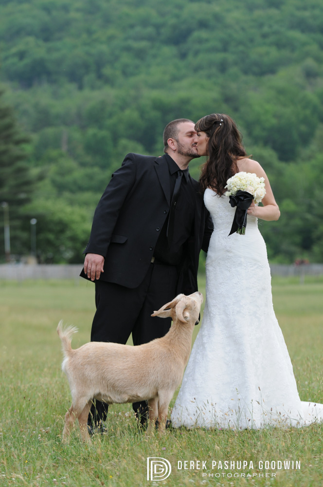 bride and groom kissing while goat watches