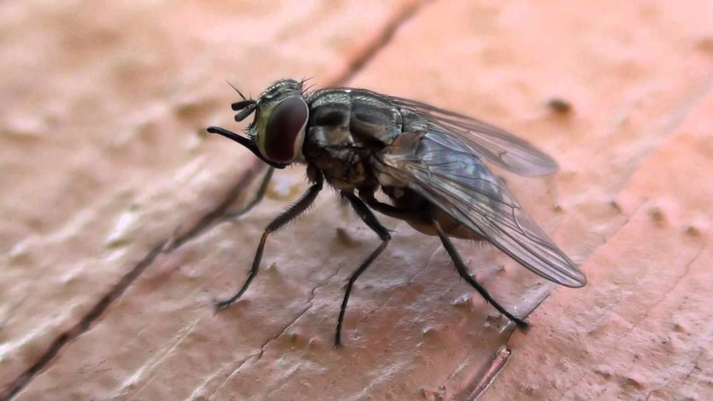 A stable fly. Image source You Tube