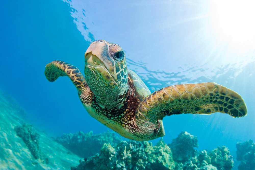 These beautiful sea turtles can often be seen while diving Fiji's Rainbow Reef