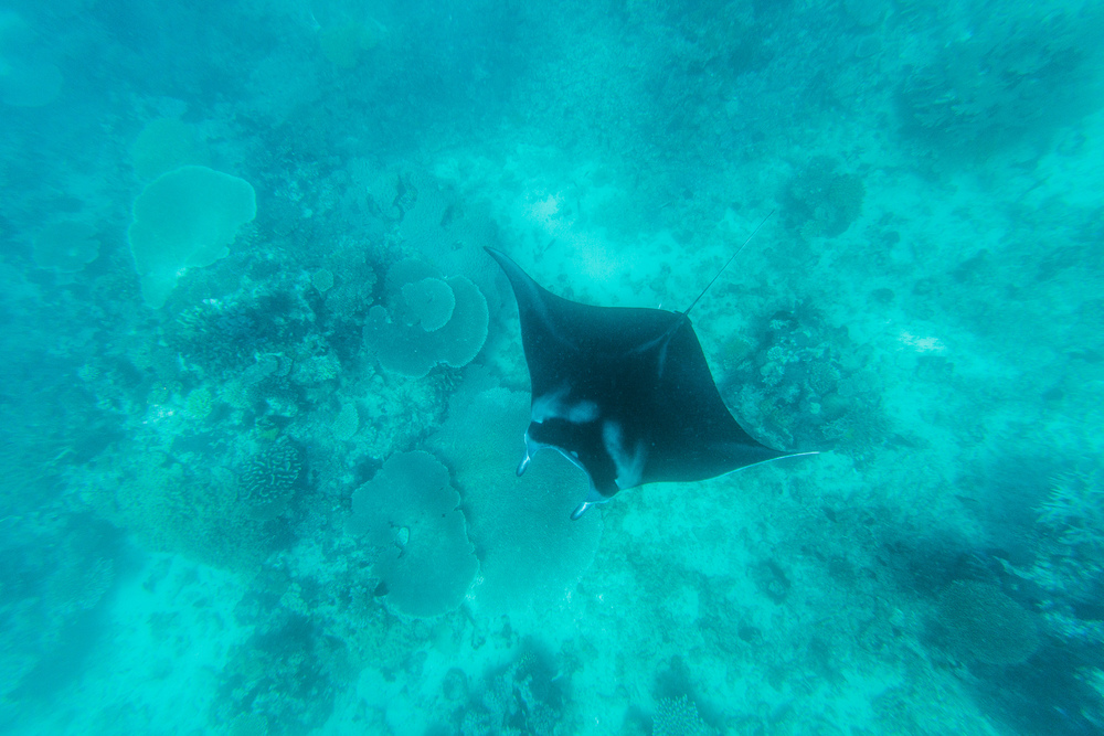 Snorkel with Manta Rays - The Remote Resort, Fiji Islands