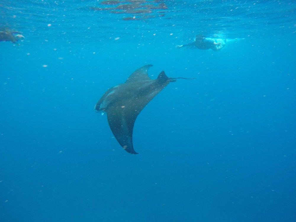 Manta Ray Snorkel Fiji.jpg
