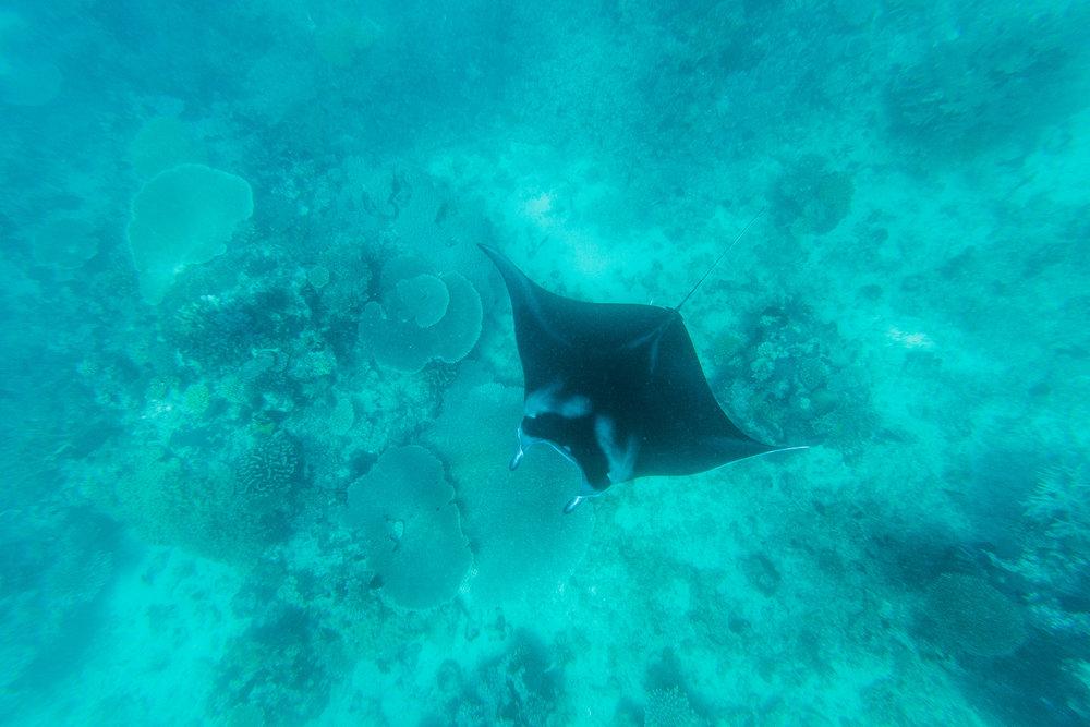 Manta Ray Rainbow Reef Remote Resort Fiji Islands.jpg