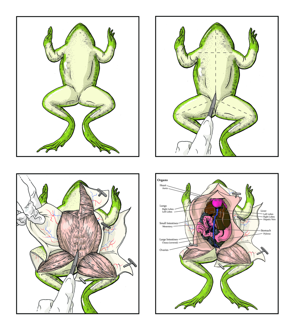 How to Dissect a Frog