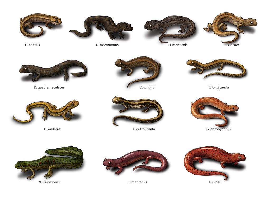 Appalachian Stream Salamanders