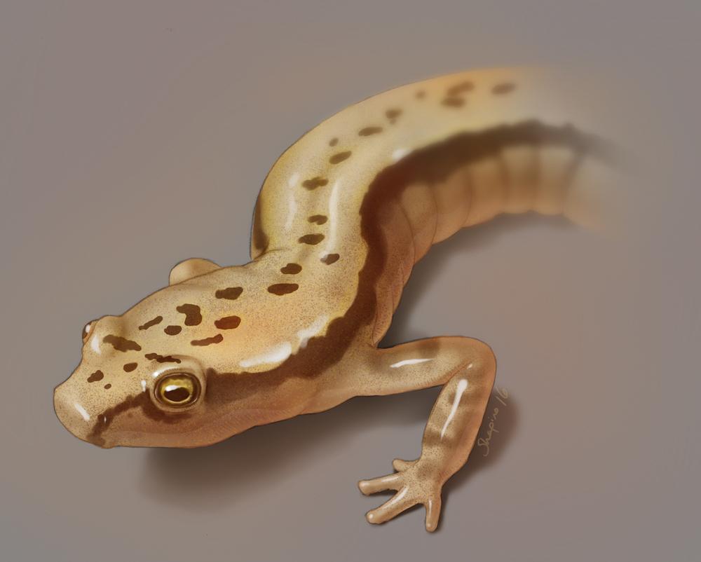 E. cirrigera