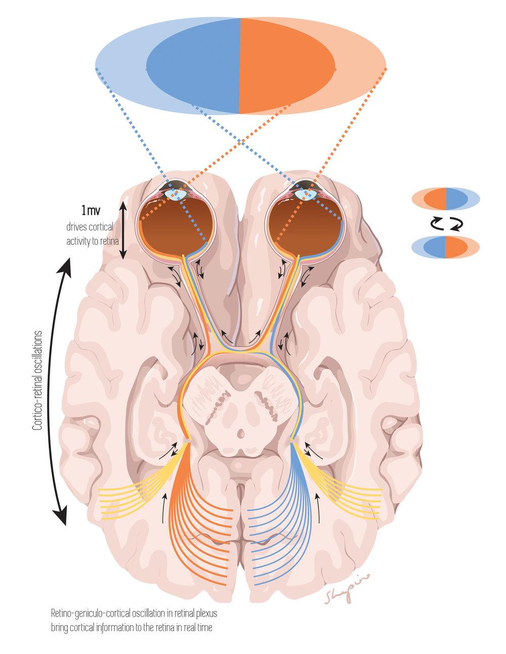 Retino-geniculo-cortical oscillation